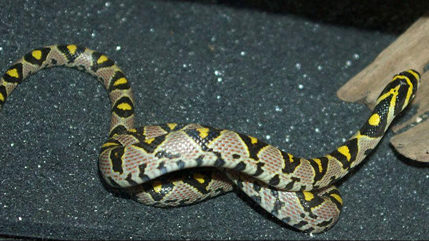Mandarin rat snake grounds Qantas 747
