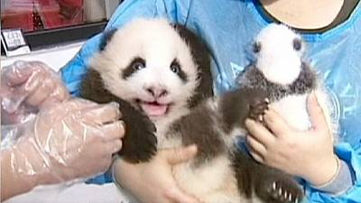 China: Artificially bred panda cubs in limelight in Chengdu – nocomment