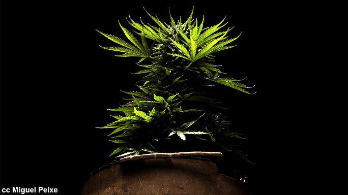 France - Légalisation ou dépénalisation du cannabis : pas si simple