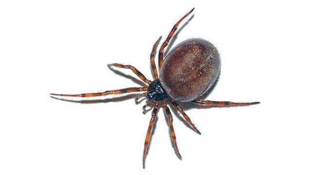 UK: outbreak of false black widow spiders prompts school to close