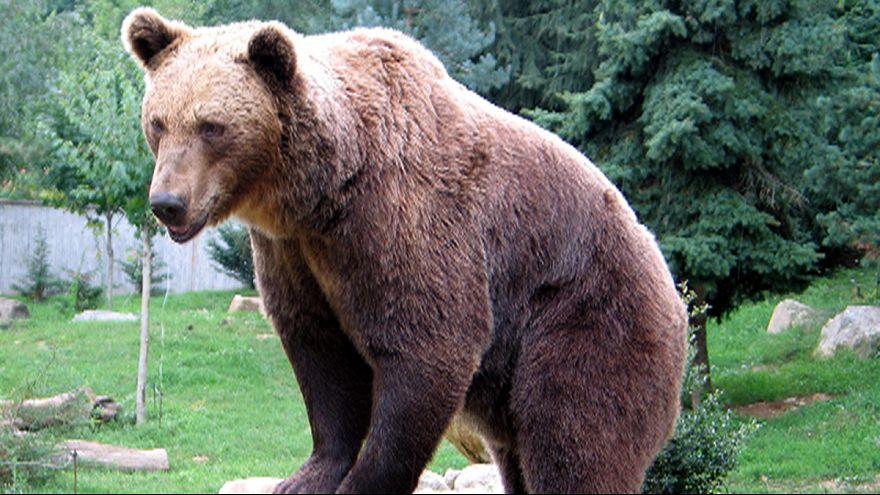 Lepofozta a medve a szikláról a 80 éves férfit- túlélte