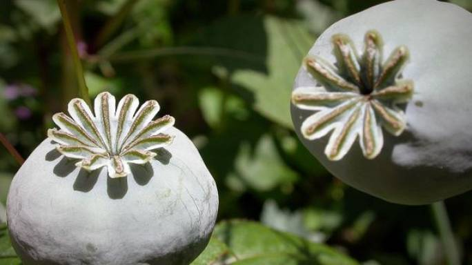 Afghanistan opium harvest hits record levels