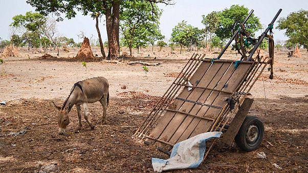 Moçambique aposta nos burros para transportar doentes