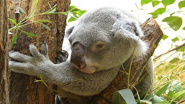 Megoldották a párzó koalák rejtélyét brit tudósok