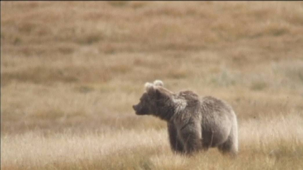 Himalayan brown bears now critically endangered