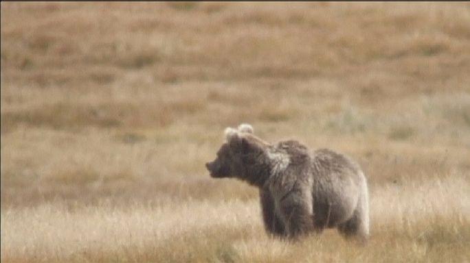Urso castanho do Himalaia em vias de extinção