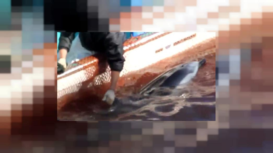 Fresh footage of moments around alleged slaughter of up to 65 dolphins in Japan
