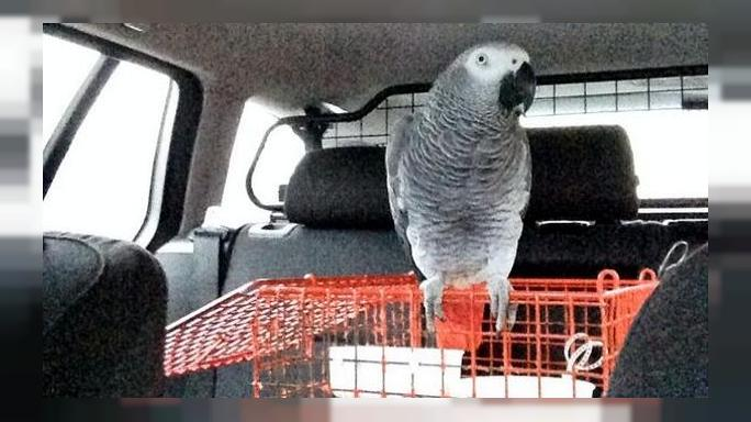 UK: Police in a flap over learner driver's pet parrot