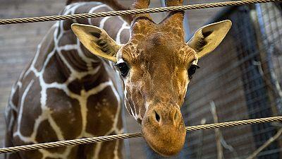 Morte de girafa bebé na Dinamarca cria onda de revolta