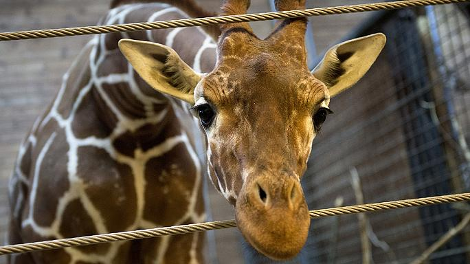 Gyerekek előtt darabolták fel a lelőtt zsiráfot