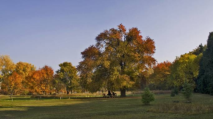 Az év fája – befutók közt egy gödöllői vadkörtefa