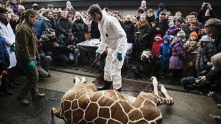 Danemark : une deuxième girafe nommée Marius risque d'être euthanasiée