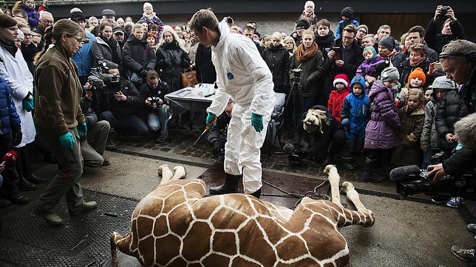 Second healthy giraffe named Marius may be put down in Denmark