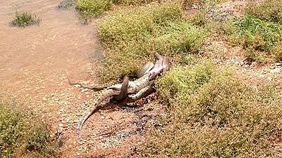 Incredible moment a snake kills a crocodile... and then eats it for lunch
