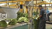 Top banana as Fyffes and Chiquita merge