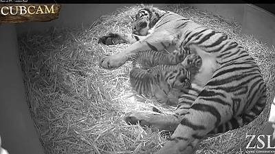 Watch: Adorable first moments of rare new-born tiger cubs at London Zoo