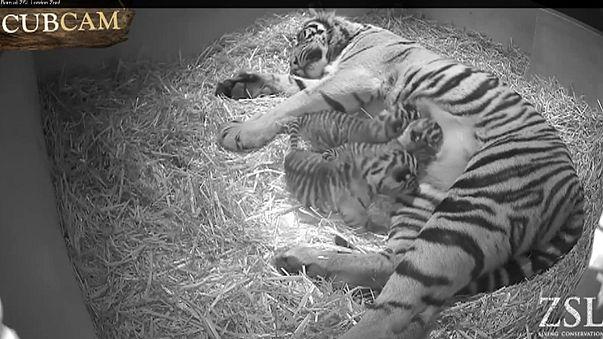 Скрытые камеры заcняли рождение трех тигрят в Лондонском зоопарке