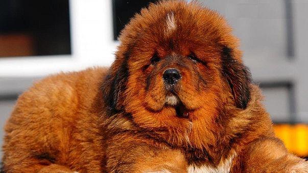 В Китае щенок тибетского мастифа продан за два миллиона долларов