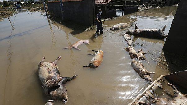 Власти Китая «выудили» из реки Ган 157 мертвых свиней