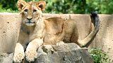 Цепочка замкнулась: львов, съевших жирафа Мариуса, убили