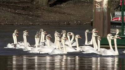 Swans released onto Hamburg lake for spring