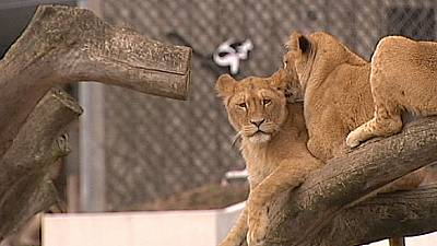 Copenhagen Zoo destroys four lions to make room for a new male.