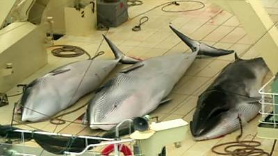 Japan pledges to comply with Antarctic whaling ban