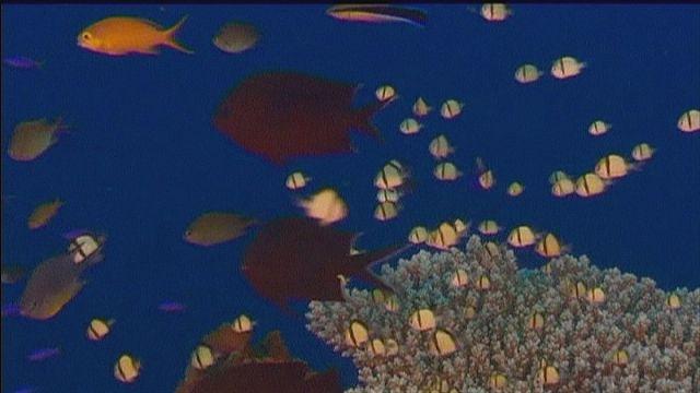 Hogyan készítsünk mesterséges korallszirtet?