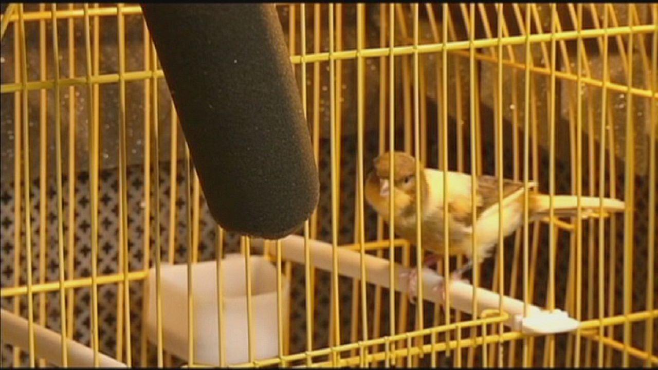 غناء الطيور لإستعادة النطق لدى الإنسان