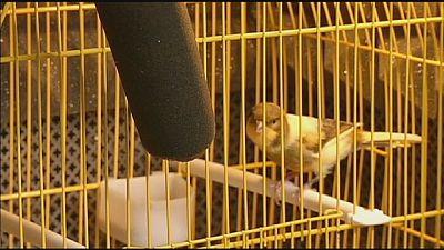 Estudiando el canto de los pájaros para recuperar el habla