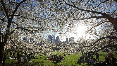 Cherry blossom in Central Park