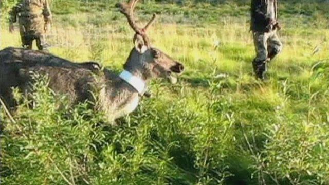 جهاز لمراقبة حيوان الرنة في سيبيريا