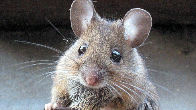 A fiatal vér visszafordította az idősebb egerek öregedését