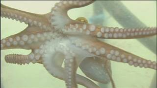 Why octopuses don't get into a tangle