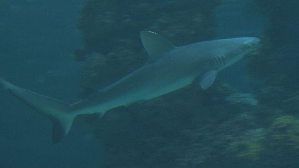 El tiburón, un animal más frágil que violento