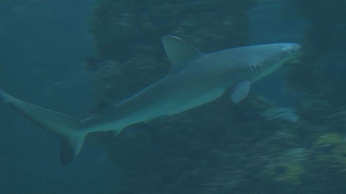 Requins : les dents de l'amer