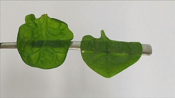 Életben maradhatnak a növényi sejtek az új mélyhűtéssel