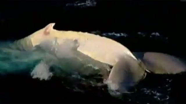 Watch: one of world's rarest whales captured on camera