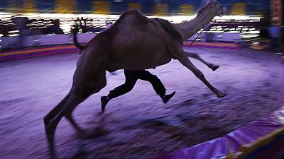 Last run for circus camel