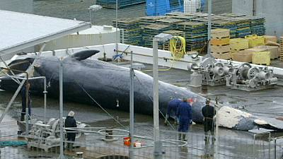 Whaling in Iceland continues despite international ban – nocomment