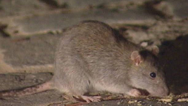 Do you know: why kill rats?