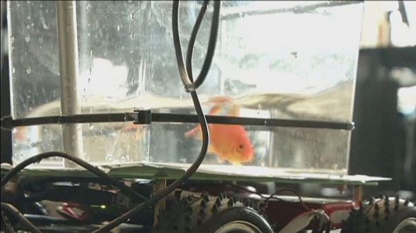 Um aquário com rodas para os peixes