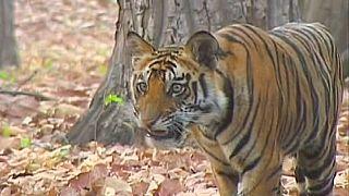Comunidade internacional incentivada a duplicar número de tigres