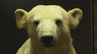Knut the polar bear, a star in life and death
