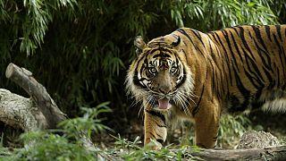 Care for the Wild: Σταματήστε τις «selfies» με τίγρεις