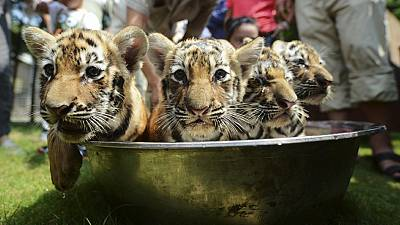 Tiger cubs take a bath