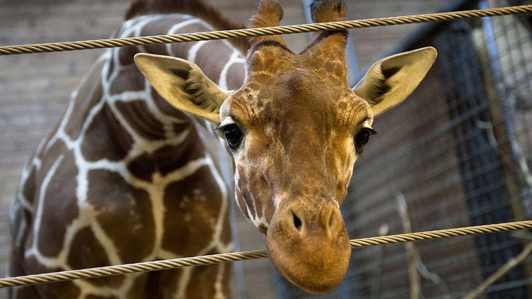 Sudafrica, giraffa muore. Colpisce con la testa un ponte in autostrada