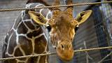 Giraffe dies after 'hitting its head on motorway bridge'
