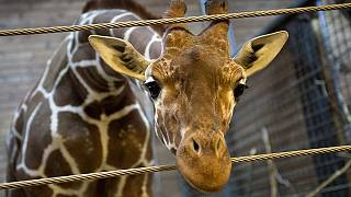 Giraffe dies after 'hitting its head on motorway bridge'