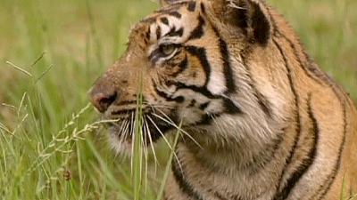 Shere madness: trade in illegal tiger parts on the increase
